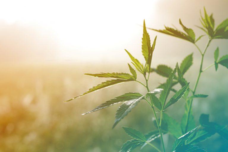 Marijuana Card Renewal